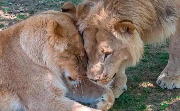 Löwen Streicheln