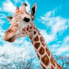 Video: Betrunkener reitet Giraffe im Zoo