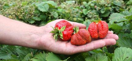 Erdbeeren selber pflücken! •