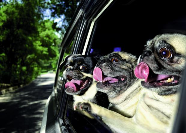 Dogs in Cars Fotoserie