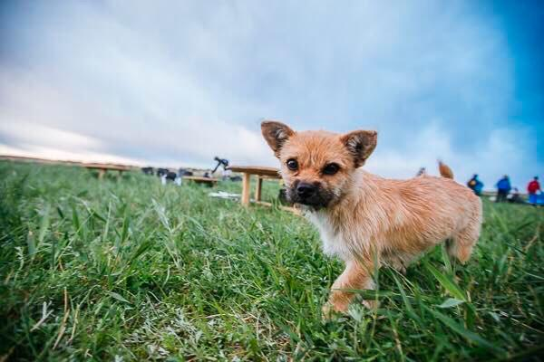 Gobi Hund